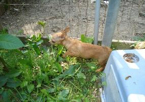 Chihuahua Runt